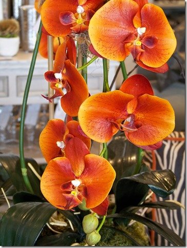 close up of sunset orchid